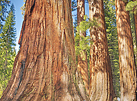 Sequoia Grove, Yosemite