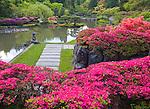 Seattle, WA<br /> Evergreen azaleas bloom on a terrace  in theJapanese Garden, Washington Park Arboretum