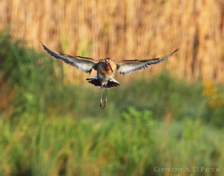 Black-tailed godwit hovering