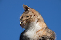 close up headshot of a Tabby Cat in profile, against a clear blue Indian Summer sky.