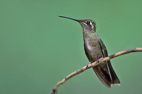 Magnificent Hummingbird - Eugenes fulgens - female