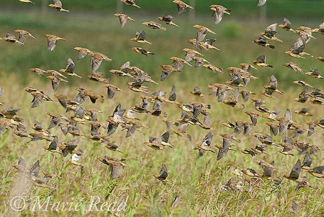 Bobolinks (Dolichonyx oryzivorus) flock in flight in autumn, Montezuma National Wildlife Refuge, New York, USA