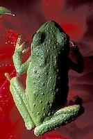 Pacific treefrog on rose bud, Snohomish, Washington