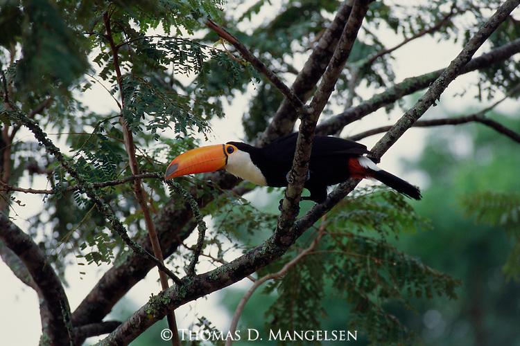 A Toco Toucan perches on a branch.