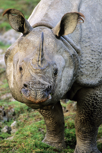 Indian or Asian one-horned Rhinoceros (Rhionoceros Unicornis), NE India.
