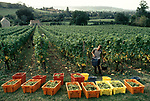 'WINE IN ENGLAND, SOMERSET', GRAPE PICKING CASUAL. LABOUR IS BROUGHT IN FOR THIS. THE GRAPES ARE PICKED AT THE END OF THE SUMMER, 1989
