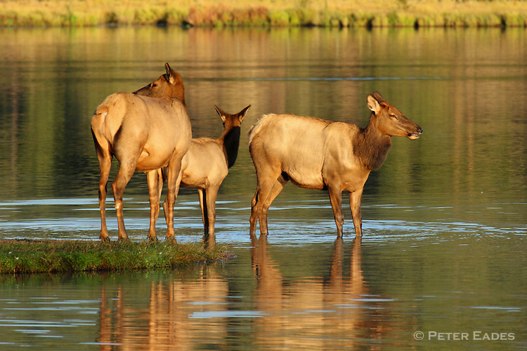 Cow Elk in Water