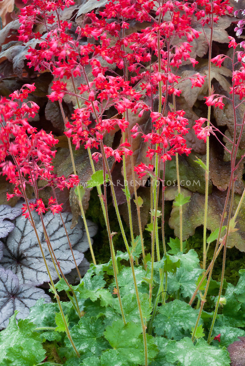 Heuchera 'Lipstick' in flower