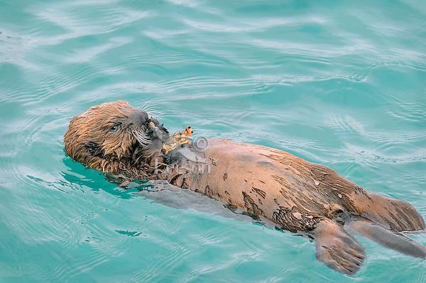 Alaskan or Northern Sea Otter (Enhydra lutris) pup eating crab that its mother has caught.  At this age the pup is still too young to dive for its own food.