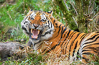 Siberian tiger, Amur tiger, Panthera tigris altaica, adult, snarling, with wild boar kill