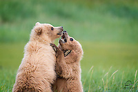 Female Brown Bear (Ursus arctos) cub finally gets the leverage on her bigger, heavier, domineering brother, and she appears to be enjoying it.  Looks to us like a smile on her face.  The brother is obviously not happy with the situation. Hallo Bay, Katmai National Park, Alaska.