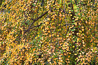 Weeping Katsura tree (Cercidiphyllum japonicium 'Pendulum' ) with yellow leaves in fall color