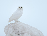 A male Snowy Owl nearly disappears against the white sky and white snow.
