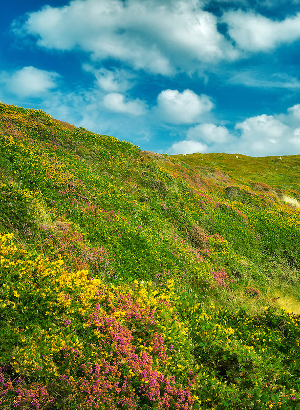 Wildflowers. Sky Loop Road. Clifden, Ireland