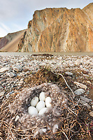 Canada goose nest along the Nigu bluff, Nigu river, National Petroleum Reserve, Alaska.