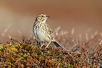 Savannah Sparrow (Passerculus sandwichensis). Yukon Delta National Wildlife Refuge, Alaska. June.