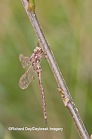 06366-00102 Fawn Darner (Boyeria vinosa) dragonfly male, Marion Co. IL