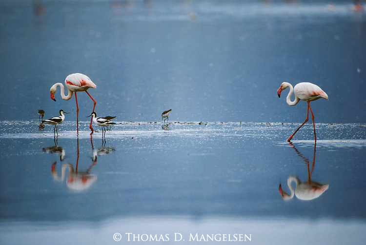 A pair of Flamingos wade in shallow water in Ngorongoro Tanzania.