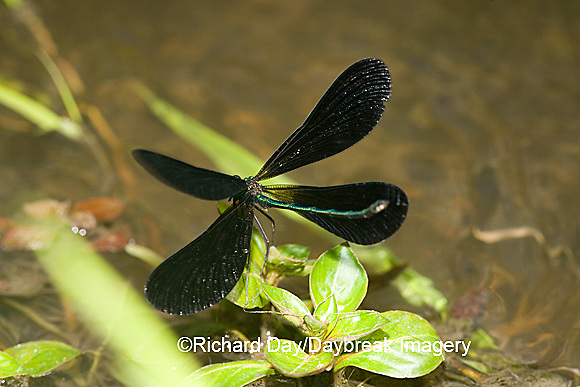 06014-002.06 Ebony Jewelwing (Calopteryx maculata) male displaying, Lawrence Co. IL