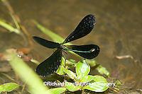 06014-002.06 Ebony Jewelwing (Calopteryx maculata) male displaying, Lawrence Co. IL