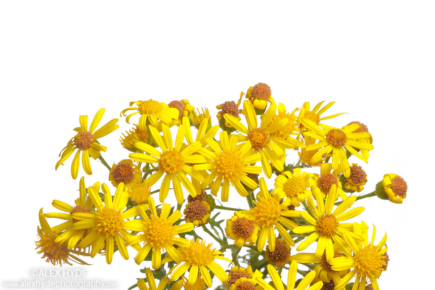Common Ragwort {Senecio jacobaea} photographed in mobile field studio against a white background.  This plant is poisonous to livestock but can be an important food source for a variety of invertebrates. It is a native species to the UK, but commonly quoted as being an invasive foreign species. This arrises from confusion with Oxford Ragwort {Senecio squalidus}. Derbyshire, UK. August.