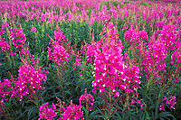Fireweed blossoms, Livengood, Alaska
