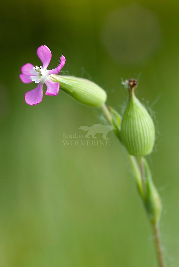 Kegelsilene (Silene conica)