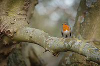 A Robin {Erithacus rubecula} Perched on a Tree Branch in Mote Park, Maidstone, Kent