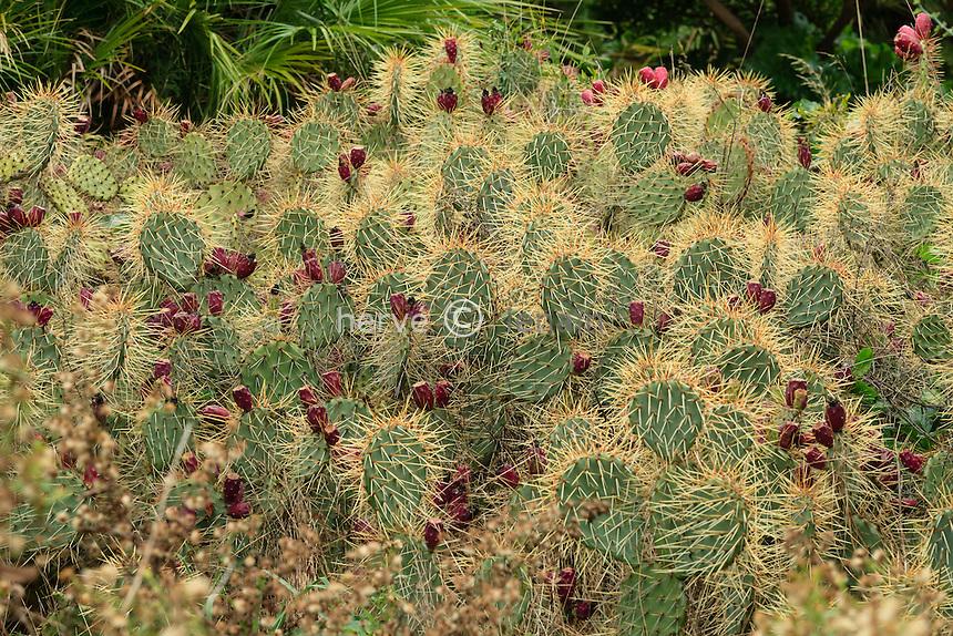 Domaine du Rayol en novembre : Opuntia sp., oponce