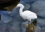 Egret standing on a rock, Balboa Island, CA.