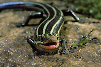 American Five-lined Skink, Eumeces fasciatus, in close up view with cheerful friendly expression, Midwest USA