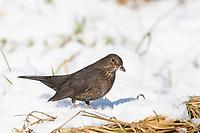 Amsel, im Winter bei Schnee, Schwarzdrossel, Weibchen, Turdus merula, Blackbird, female, snow, Merle noir