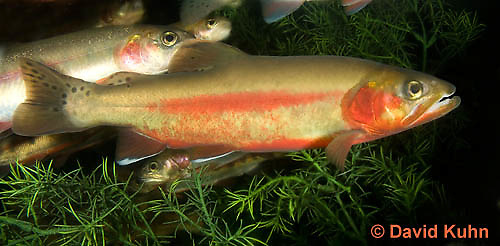 1120-1001  Rio Grande Cutthroat Trout, Oncorhynchus clarki virginalis  © David Kuhn/Dwight Kuhn Photography