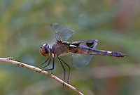 388520007 a wild male black saddlebags tramea lacerata perches on a dead stick along laws canal inyo county california