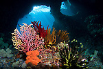 Crinoids and a small gorgonian fan, Subergogia sp.,  in front of Boo Windows, Raja Ampat, West Papua, Indonesia, Pacific Ocean