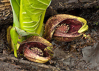 Skunk Cabbage calexes show the plants flowers and emerging leaves at Lyon Forest Preserve in Kendall County, Illinois