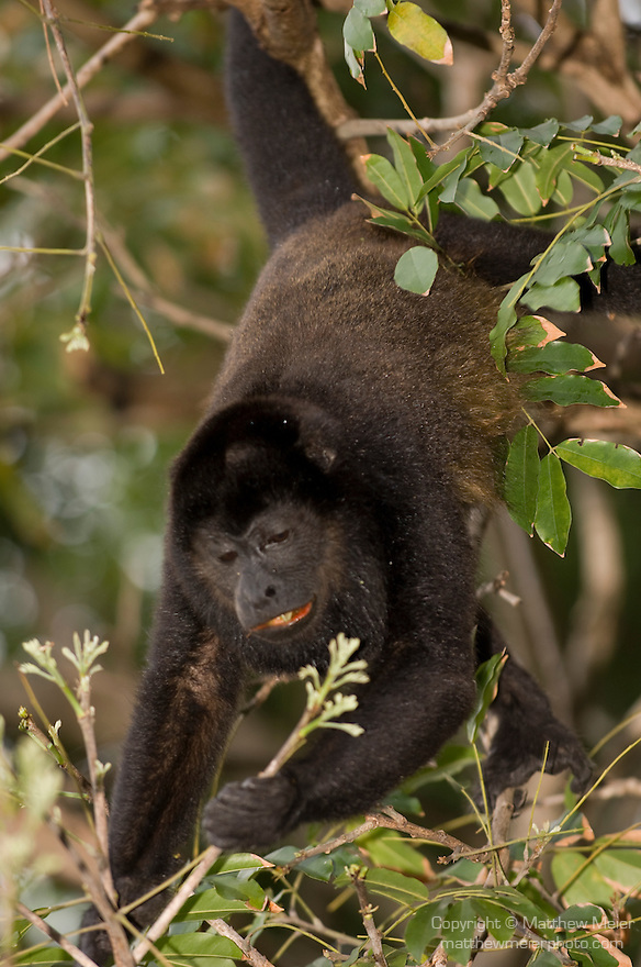 Ocotal, Guanacaste, Costa Rica; a large male Mantled Howler Monkey (Alouatta Palliata) up in the trees, known as Congo in Costa Rica , Copyright © Matthew Meier, matthewmeierphoto.com All Rights Reserved