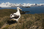 Wandering Albatross on a bluff on Prion Island.