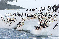Group of adelie penguins in Hope Bay, Antarctica Peninsula.