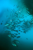 Schooling Blue Rockfish, Bluefish Cove, Point Lobos State Park.
