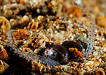 Berry's Bobtail Squid, Euphprymna berryi