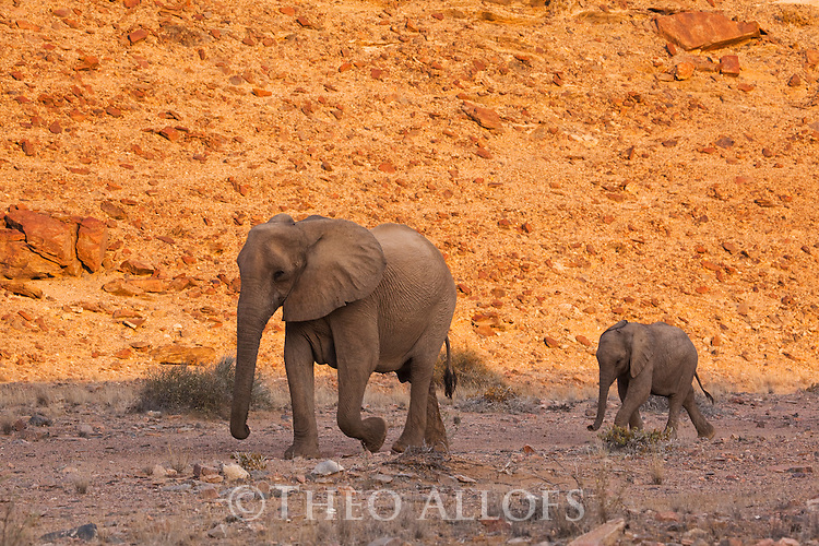 Namibia;  Namib Desert, Skeleton Coast,  desert elephant (Loxodonta africana), mother with calf