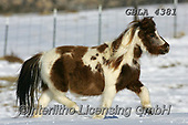 Bob, ANIMALS, REALISTISCHE TIERE, ANIMALES REALISTICOS, horses, photos+++++,GBLA4381,#a#, EVERYDAY
