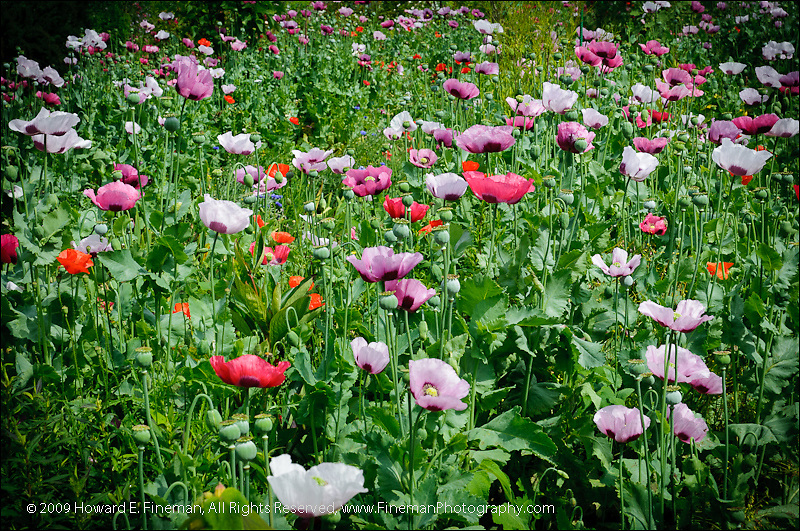 Poppies in Monet's Garden, Giverny (4)