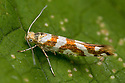 Argyresthia goedartella, a micro moth measuring approximately 5mm. Lancashire, UK. August. Focus stacked image.