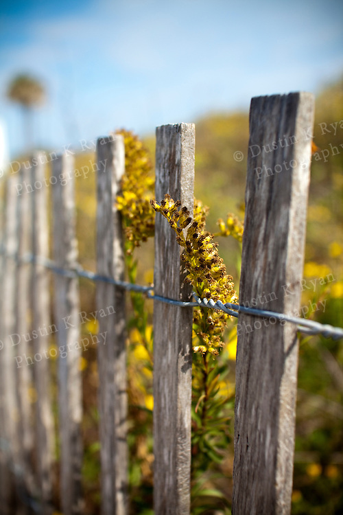 Yellow Flowers climbing a wooden fence at Folly Beach South Carolina Shallow Depth of field dof