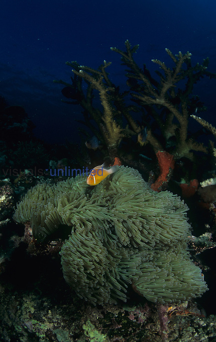 Coral reef scene in Fiji, with Anemonefish ,Amphiprion perideraion, Sea Anemones, and Hard Corals, Pacific Ocean.