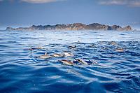 spinner dolphin, Stenella longirostris, Chichi-jima, Bonin Islands, Ogasawara Islands, UNESCO World Heritage Site, Japan, Pacific Ocean