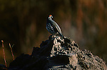 Gambel's quail perches on top of a rock in New Mexico.