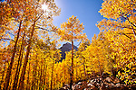 Autumn Aspens & Maroon Bells Colorado